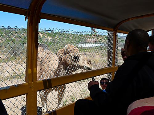 OOA Camel 1