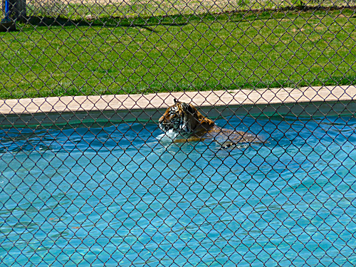 Tiger Splash 1