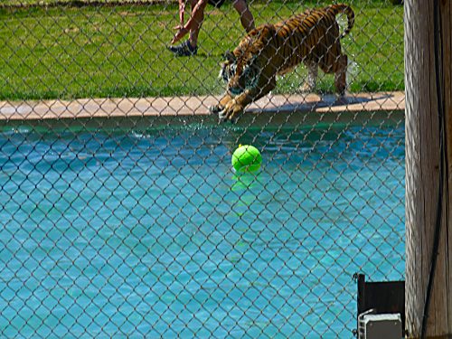 Tiger Splash 4