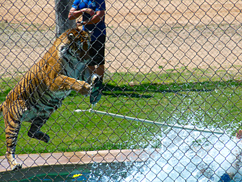 Tiger Splash 5
