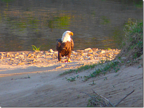 Colorado River Eagle 1