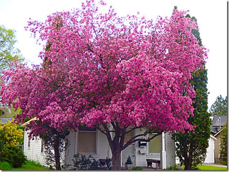 Bend Pink Tree 1