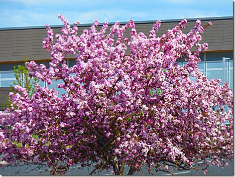 Bend Pink Tree 2