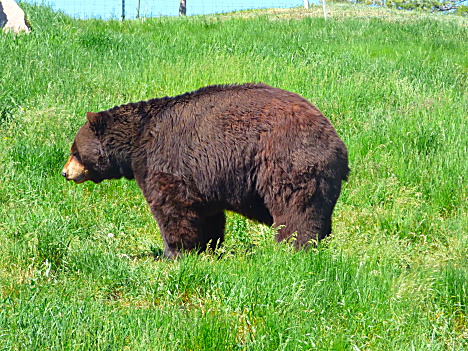 Bear Country Bear 1