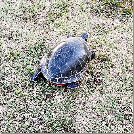 KOA Turtle