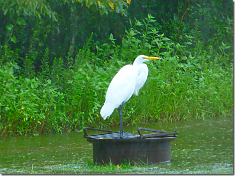 Harvey Lake Conroe Egret