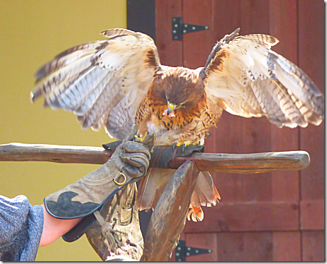 Falconery Show 4