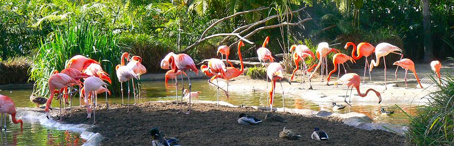 Flamingos, Busch Gardens, FL